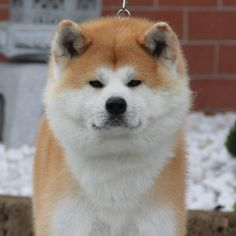 Japanese Akita, Japanese Dogs, Cute Puppies, Cute Dogs, Dogs And Puppies, Animals And Pets, Funny Animals, Cute Animals, Japanese Dog Breeds
