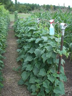 Great blog about spacing of beans and how to trellis large garden areas.