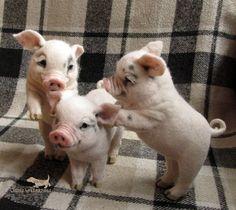 needle felted pigs-realistic pig-miniature felted sculpture #feltanimals