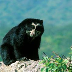 Oso Frontino. Parque Chorros de Milla. Mérida Venezuela -  una bella especie en peligro de extinción!!