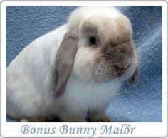 Bonus Bunny Törpenyúl Tenyészet