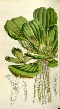 51769 Pistia stratiotes L. / Houtte, L. van, Flore des serres et des jardin de l'Europe, vol. 6: p. 289 (1850)