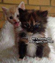 Cats And Kittens For Sale In Corby; Cats And Kittens For Adoption Near Me plus Coloring Pages 4 To Cute Animals Funny Animal Jokes, Funny Cat Memes, Cute Funny Animals, Funny Cute, Hilarious, Funny Cartoons, Funny Pranks, Funny Texts, Funny Kittens