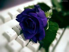 Niebieska, Róża, Klawiatura