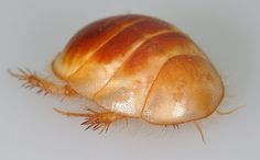 (Heterogamodes Hebraica) Roaches, Bugs, Animals, Insects, Animales, Beetles