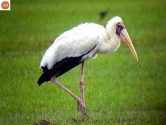 ☎️ https://www.facebook.com/WonderBirdSpecies/  Milky stork (Mycteria cinerea); Southeast Asia;  IUCN Red List of Threatened Species 3.1 : Endangered (EN)(Loài nguy cấp)  Cò lạo xám; Đông Nam Á; HỌ HẠC - CICONIIDAE (Storks).