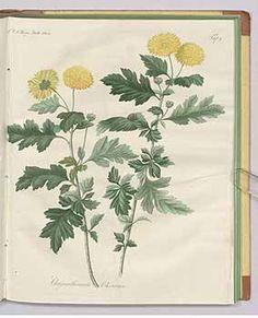 241626 Chrysanthemum morifolium Ramat. [as Chrysanthemum sinense Sabine]  / Fortsetzung des Allgemeinen teutschen Garten-Magazin oder gemeinnützige Beiträge für alle Theile des praktischen Gartenwesens [J.F. Bertuch], vol. 7: t. 7 (1823)