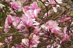 Magnolia x loebneri ('Leonard Messel'): Fragrant white flowers in early spring. It grows up to 15 feet tall and wide.