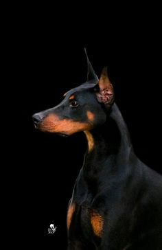 Doberman Pinscher #Dogs #Puppy