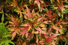 """Award winning -Coleus Under the Sea™ Hermit Crab    Annual Height:Up to  18"""" Spread:  12""""         Under the Sea™ are great with our Juncus 'Dreadlocks' to get the Medusa look in combos. Great for containers. Thrives in full sun with adequate moisture."""