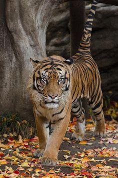 Sumatran Tiger by Yasaiman on Flickr.