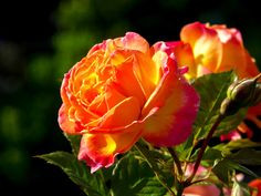 Rose in Sunshine by Susan  Chan  on 500px