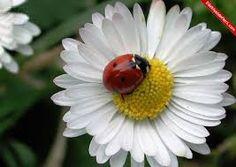 Uğur Böceği İle papatyanın aşkı