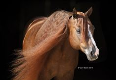 Cute Horse Pictures, Reining Horses, American Quarter Horse, Quarter Horses, Funny Horses, Chestnut Horse, Horse Hair, Beautiful Horses, Beautiful Things