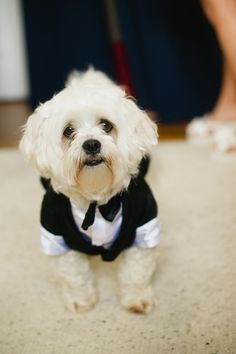How cute is this little guy all dressed up for the #wedding? Photo by Kate Connolly Photography #dog #tuxedo #weddings