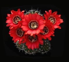 Echinopsis huascha (F.A.C. Weber) H.Friedrich & G.D.Rowley 1974 incl. Echinopsis rowleyi H.Friedrich 1974 (forma R 151A  Andalgalá → Hualfín, Catamarca, Argentina, 2500-3000 m / 8202-9842 ft) min.temp.<-20°C/<-4°F full sun, red flower, neutral soil