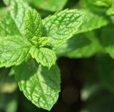 Spearmint EO - Spearmint Essential Oil has a fresh minty smell reminiscent of Peppermint. The major difference is that Spearmint oil is sweeter, and not quite as harsh. Peppermint Plants, Peppermint Oil, Heat Rash, Laurus Nobilis, Spearmint Essential Oil, Parts Of A Plant, Therapeutic Grade Essential Oils, Medicinal Herbs, Mother Earth