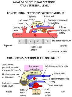 Instant Anatomy - Abdomen - Vessels - Arteries - Abdominal aorta relations