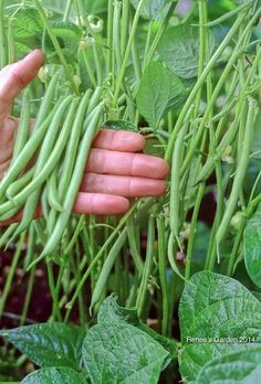 These vegetables are perfect for those who have started to grow vegetables in containers recently. Easy to grow and productive!