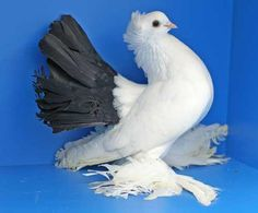 Tumbler Pigeons, Fantail Pigeon, Pigeon Breeds, Pigeon Loft, Dove Pigeon, Bird Feathers, Wings, Coops, Tumblers