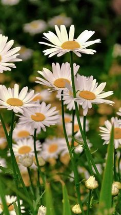 Download Wallpaper 720x1280 Daisies, Meadow, Flowers, Herbs, Sharpness Samsung Galaxy S3 HD Background