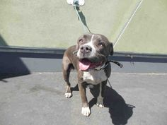 Meet DANDELION, a Petfinder adoptable Pit Bull Terrier Dog | Los Angeles, CA | Petfinder.com is the world's largest database of adoptable pets and pet care information....