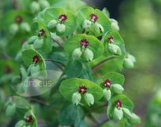Euphorbia amygdaloides var. robbiae has a lovely fresh green colour to its brachts and will grow well in a woodland setting.  Sap is an irritant so not to be grown where there are likely to be children or animals trampling on it.