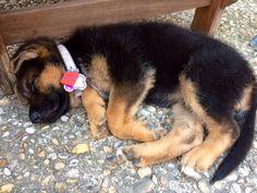 Tuckered baby Stella. #germanshepherd #GSD #puppylove