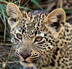 leopard in the game reserve in south africa wild life photography