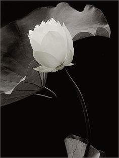 White Lotus Flower by Bahman Farzad, via Flickr