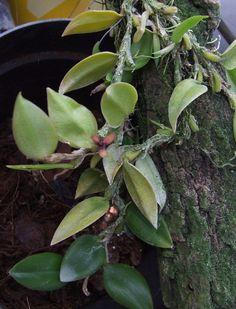 Bulbophyllum Orchidaceae | Bulbophyllum haniffii | Orchids.it