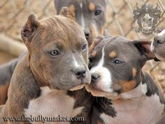 Bully pups! They are so cute, i hate it when people crop their ears but they r the sweetest dog youll ever meet.