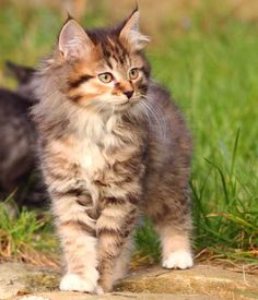 Kurilian Bobtail -Great hunter and mousers. They only have one litter a year and the males take an equal part in kitten care. They have a variety of coat colors and patterns. They're versatile and great with kids.