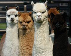 Cute Wild Animals, Super Cute Animals, Funny Animals, Alpacas, Alpaca Funny, Cute Alpaca, Llama Pictures, Cute Animal Pictures, Baby Llama