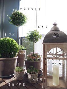 BIMH my balcony: privet, bay, box, herbs, sempervivum, olive tree