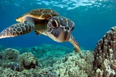 Of the nearly 700 photos submitted in 2013's Through Your Lens Underwater Photo Contest, Scuba Diving received some great turtle photos. Come check out our readers' best images!
