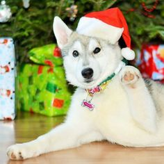 Merry Christmas everyone. Hope you all enjoy your day and have a wonderful holiday. ❄️️ _  Don't forget to tag your photos #husky_dingofolloweroftheweek  and be active for a feature on Friday.  My awesome partners  @thunder_pets @a_husky_life  @luna_and_winifred  @saimathehusky  @chloe_and_wylie @bluemoonhusky  @abbythehusky @couragesuitntie