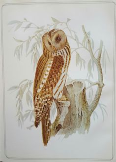 Ural Owl, Josef Wolf Fauna Japonica, PF Von Siebold (Apud Arnz & Socios, 1844-50) plate 10  Joseph Wolf (21 January 1820– 20 April 1899) was a German artist who specialized in natural history illustration. He moved to the British Museum in 1848 and became the preferred illustrator for explorers and naturalists including David Livingstone, Alfred Russel Wallace and Henry Walter Bates. Wolf depicted animals accurately in lifelike postures and is considered one of the great pioneers of wildl...