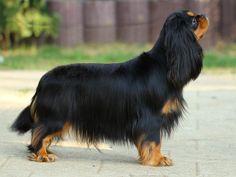 Cavalier King Charles Spaniel black and tan