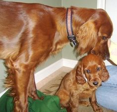 My first dog was an Irish Setter puppy. Rusty was mine from Christmas at the age of 5 to November of my 18th year. Still think Irish Setter's are gorgeous.