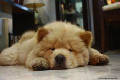 The Little Teddy Bear; chow chow puppy.