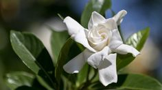 Gardenia jasminoides Radicans, Miniature Gardenia, Cape Jasmine 'Radicans', Radicans Cape Jasmine, Cape Jessamine 'Radicans', Fragrant flowers, evergreen shrub, White flowers,
