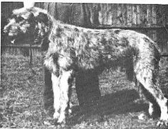 Sanctuary Rory of Kihone was born in the US in March 1951. He was by Taddeus of Kihone x Chalet Cam, and brought to the UK in December 1951. Sire & dam shared the same sire, Ch Killary of Ambleside.