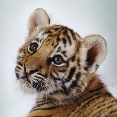 Baby Tiger | tiger poaching, curb demand for tiger parts, protect and connect tiger ...