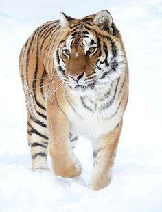 Winter Stroll by © Steve McKinzie | The Beauty of Wildlife | Bloglovin'