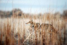 love the way this coyote blends with the surroundings