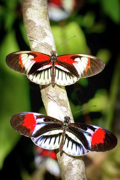 Piano Key Butterflies 15 Beautiful Butterfly Photos Added to Gallery and Here's a Sample Papillon Butterfly, Butterfly Kisses, Butterfly Flowers, Butterfly Wings, Vintage Butterfly, Image Beautiful, Beautiful Bugs, Beautiful Butterflies, Beautiful Creatures