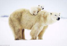 Polar bear mom & cub by David Jenkins