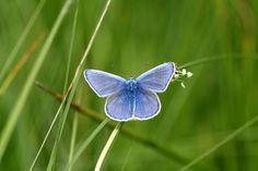 Vlinderstichting: Dagvlinders