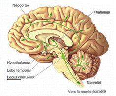 Locus ceruleus - Wikipedia